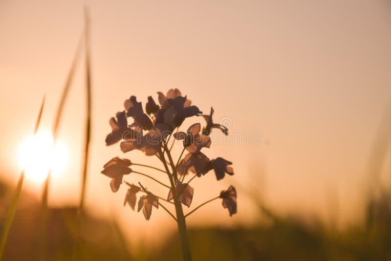 Brown et petits groupes d'or d'une usine avec des fleurs devant le ciel d'or le soir pendant le coucher du soleil photographie stock libre de droits