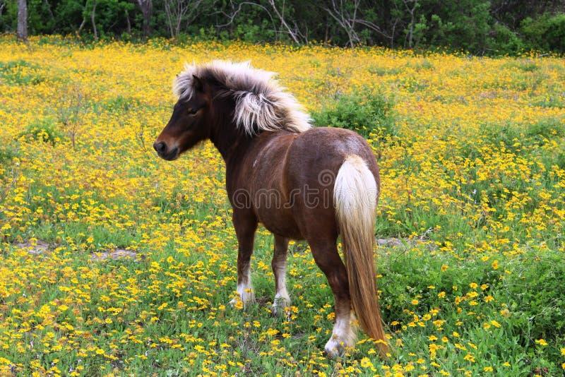 Brown et poney de Shetland blanc dans les Wildflowers photo libre de droits