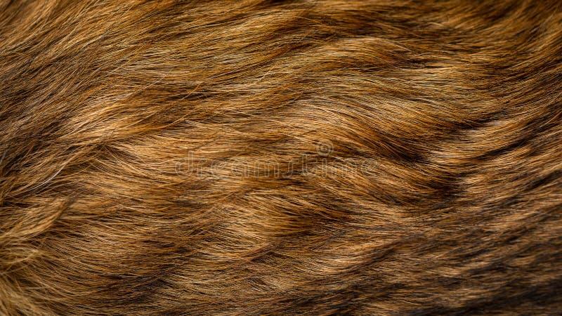 Brown et texture beige de fourrure de chien images stock