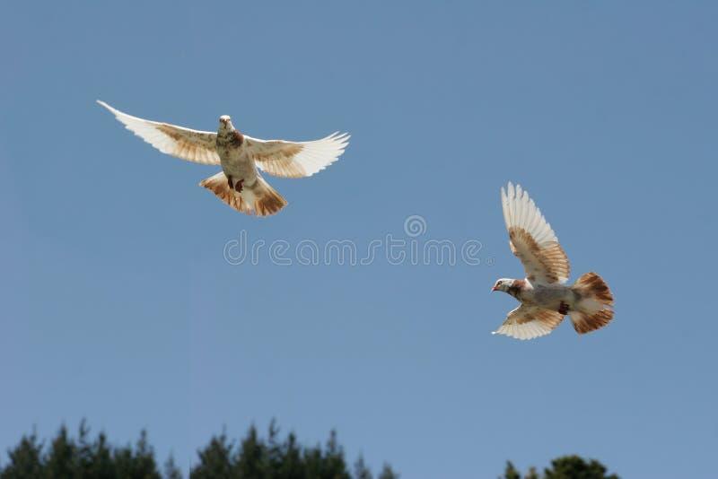 Brown et vol blanc de pigeon photo stock