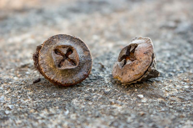 Brown eucalyptus seeds closeup. Plant seed. Botany concept. Nature close up. Nature macro background stock photos