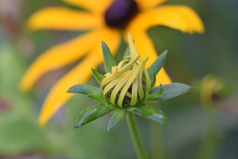 Brown Eyed com a flor obscura no fundo imagem de stock royalty free