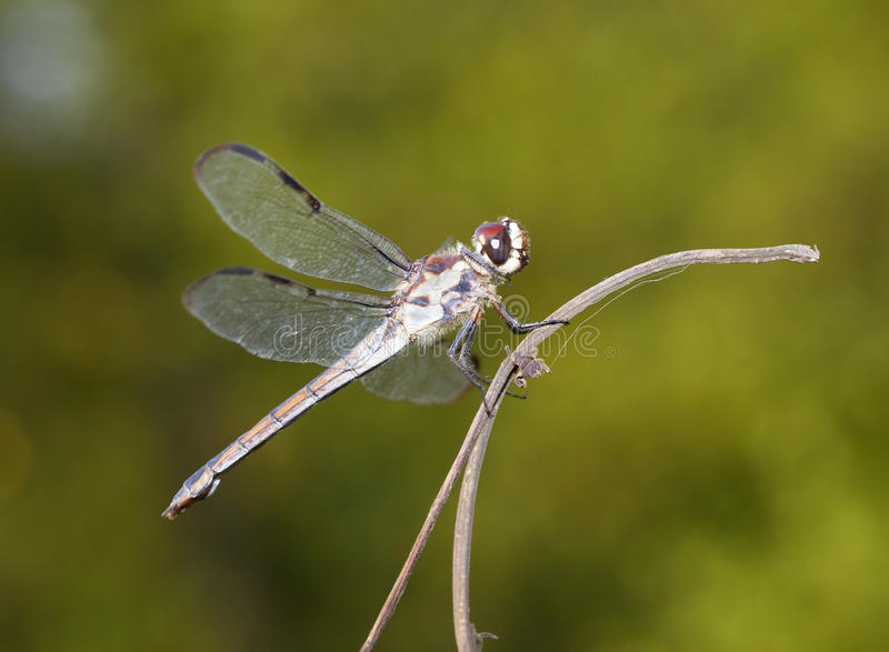Brown eyed dragonfly. Dragonfly with brown eyes that is on a stick stock image