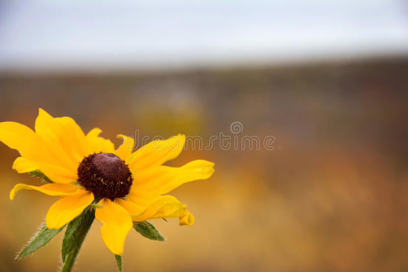 Brown eyed Susan. Flower photographed in historical Galena, Illinois royalty free stock images