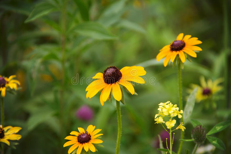 Brown eyed Susan. Flowers growing in a prairie in Galena, Illinois stock photos