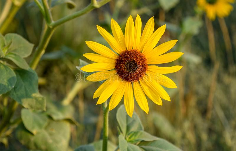 Brown-eyed Susan royalty free stock photography