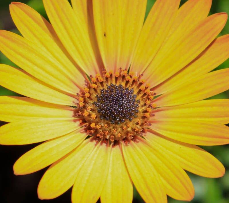 Brown Eyed Susan. A brown eyed susan soaking up the sunshine royalty free stock image