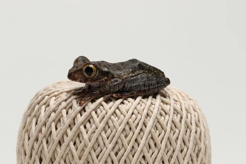 Brown eyed tree frog on string ball. Brown eyed tree frog sat on a ball of string royalty free stock photo