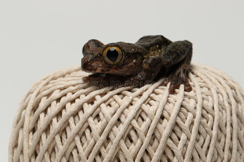 Brown eyed tree frog on string ball. Brown eyed tree frog sat on a ball of string stock image