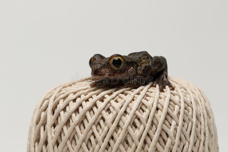 Brown eyed tree frog on string ball. Brown eyed tree frog sat on a ball of string royalty free stock image
