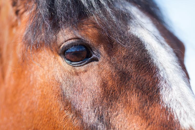 Brown eyes Bay horse closeup. View. stock images