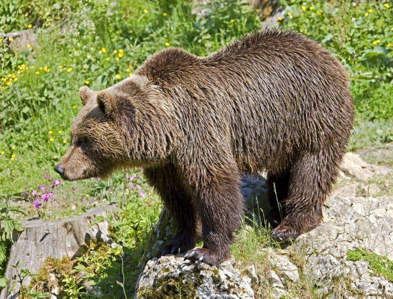 brown för 22 björn royaltyfri bild