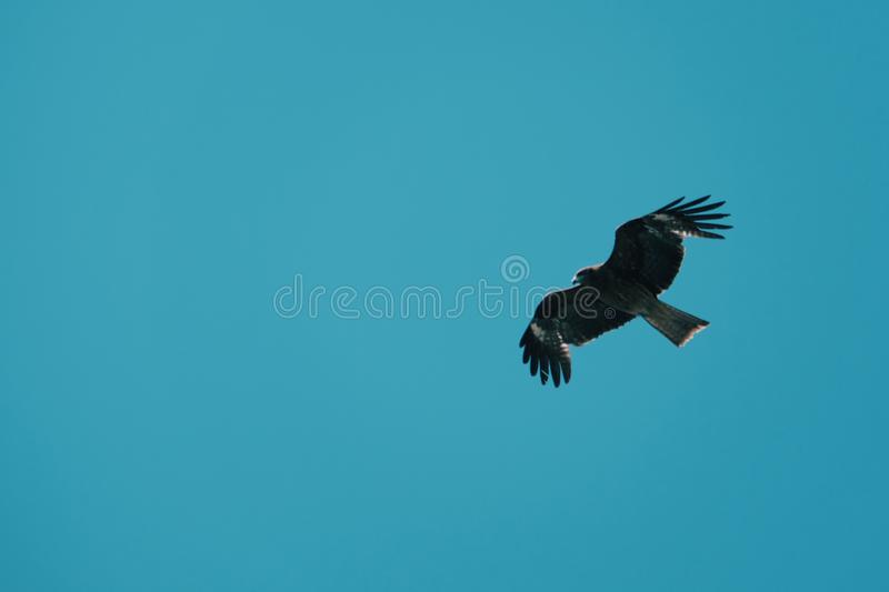 Brown falcon and blue sky stock photo