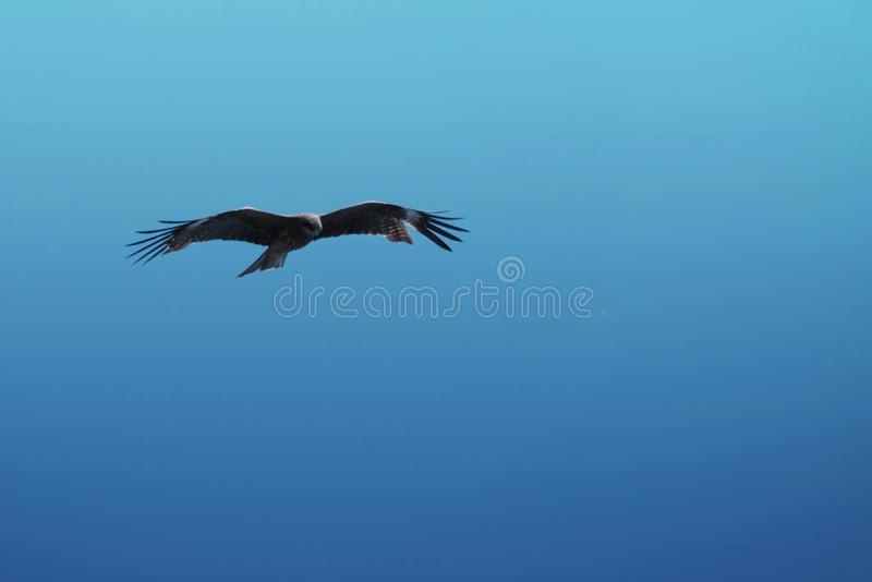 Brown falcon and blue sky. Brown falcon Are flying for food in the blue sky, feather, predator, air, birds, sea, birdwatching, freedom, soaring, power, wildlife royalty free stock images