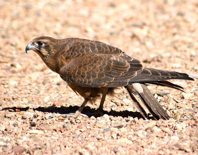 Brown-Falke (Falco beridora) lizenzfreies stockfoto