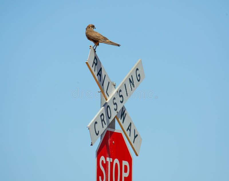 Brown-Falke landet auf einem Kreuzungszeichen stockbild