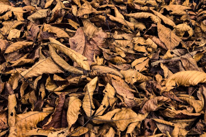Brown Fall Leaves that have Fallen from Trees royalty free stock image