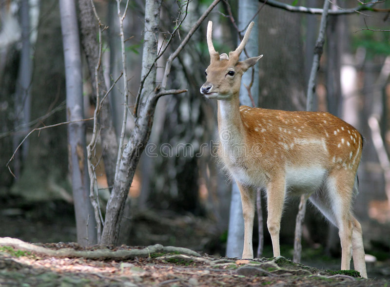 Download Brown Fallow Deer In Forest Stock Photo - Image of hind, free: 1713136