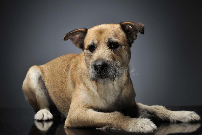 Brown-Farbe verdrahtete Haar gemischten Zuchthund in einem grauen Studio lizenzfreie stockfotos