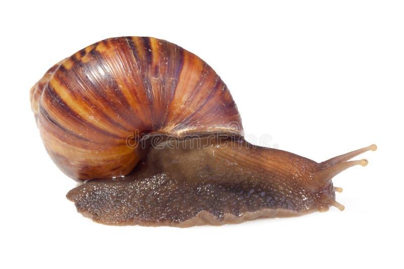 Brown-Farbgartenschnecke lokalisiert auf weißem Farbhintergrund lizenzfreies stockfoto