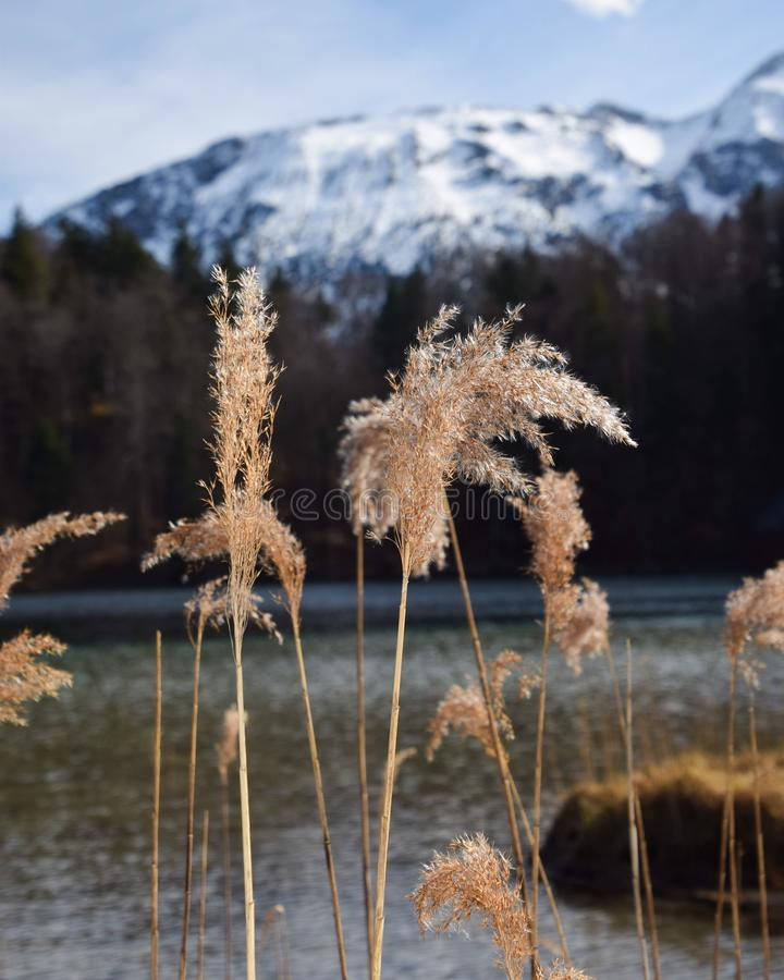 Brown Feather Plant With White Mountain Background royalty free stock photos