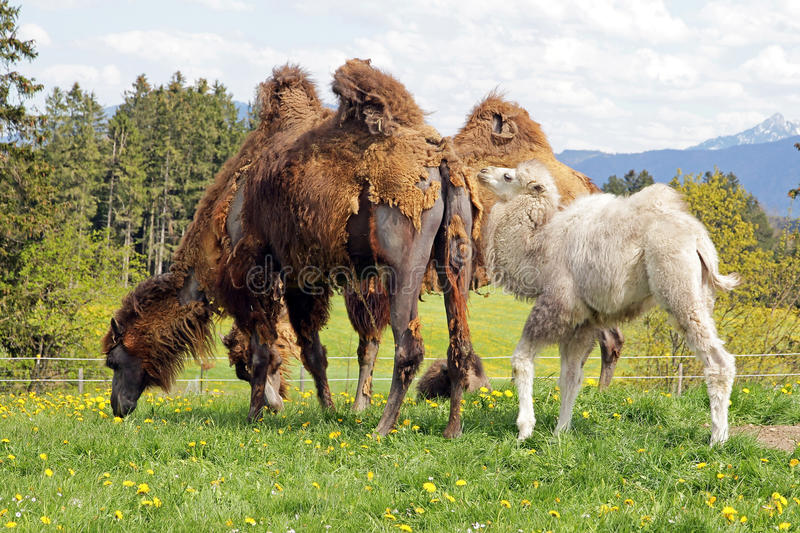 Download Brown Female Bactrian Camel With White Cub Stock Photo