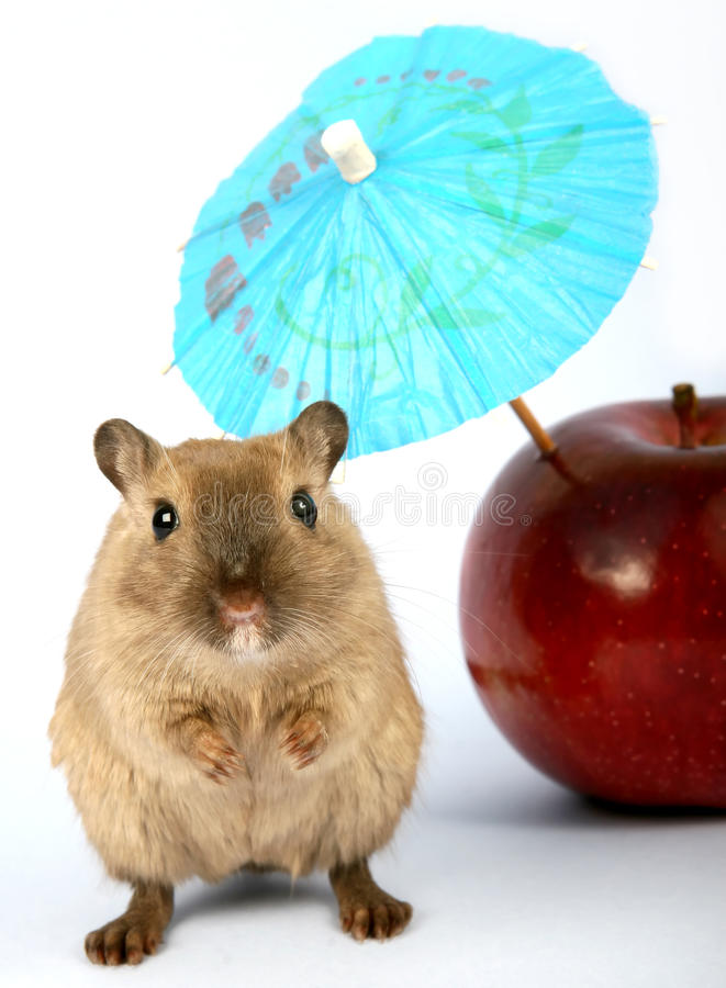 Brown female rodent on summer holiday with umbrella stock images