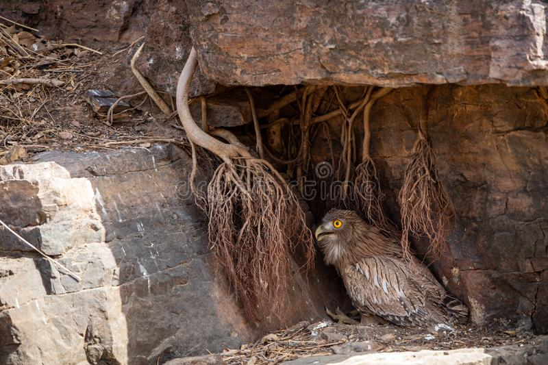 Brown Fish Owl or Bubo zeylonensis sitting under rock nest at forest of central india at ranthambore. Brown Fish Owl or Bubo zeylonensis sitting under rock nest royalty free stock image