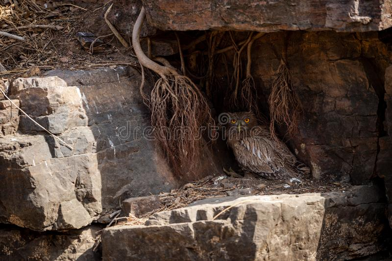 Brown Fish Owl or Bubo zeylonensis sitting under rock nest at forest of central india at ranthambore. Brown Fish Owl or Bubo zeylonensis sitting under rock nest stock photography