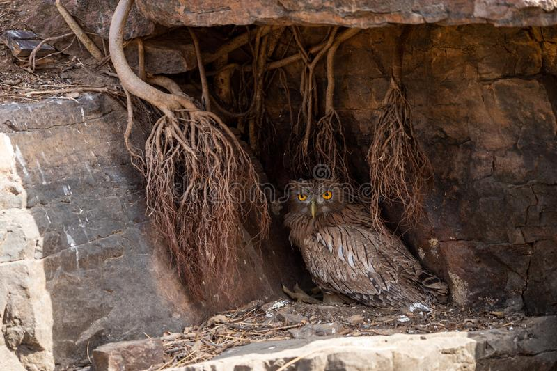 Brown Fish Owl or Bubo zeylonensis sitting under rock nest at forest of central india at ranthambore. Brown Fish Owl or Bubo zeylonensis sitting under rock nest stock image