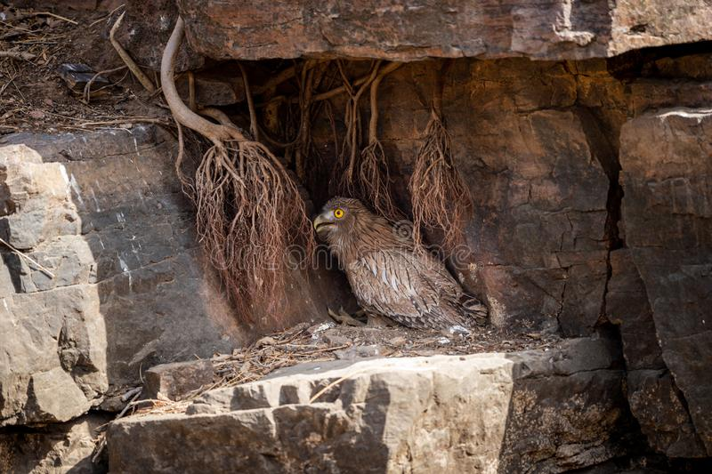 Brown Fish Owl or Bubo zeylonensis sitting under rock nest at forest of central india at ranthambore. Brown Fish Owl or Bubo zeylonensis sitting under rock nest royalty free stock photos