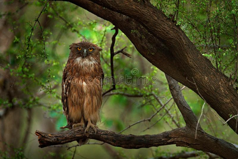 Brown Fish-owl, Ketupa zeylonensis, rare bird from Asia. India beautiful owl in nature forest habitat. Bird from Ranthambore, Indi. A, Asia stock image