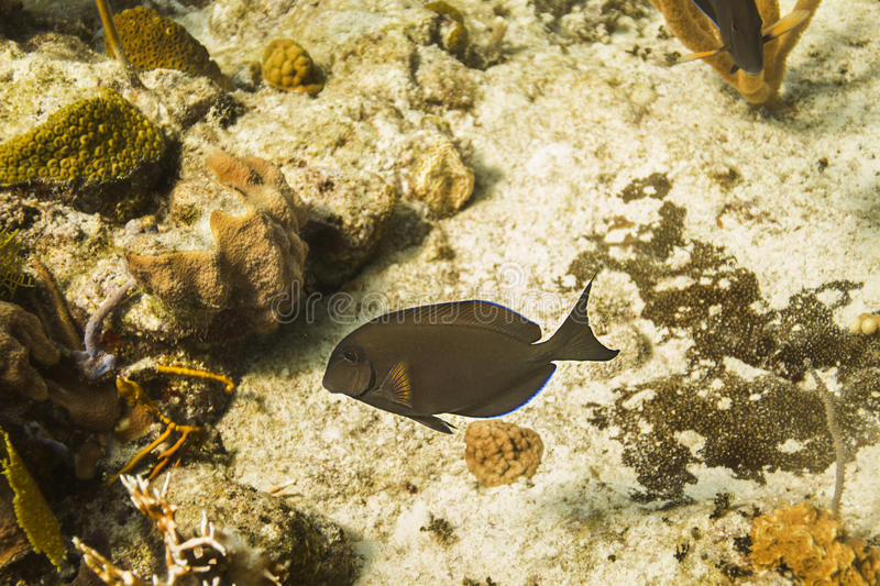 Brown fish. Brown surgeon fish swimming in a coral reef royalty free stock image