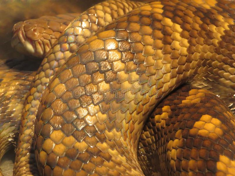 Brown flakes Deadly Snake collapsed close up macro photo. Big reptile creeping animal. Amazing nature royalty free stock photo