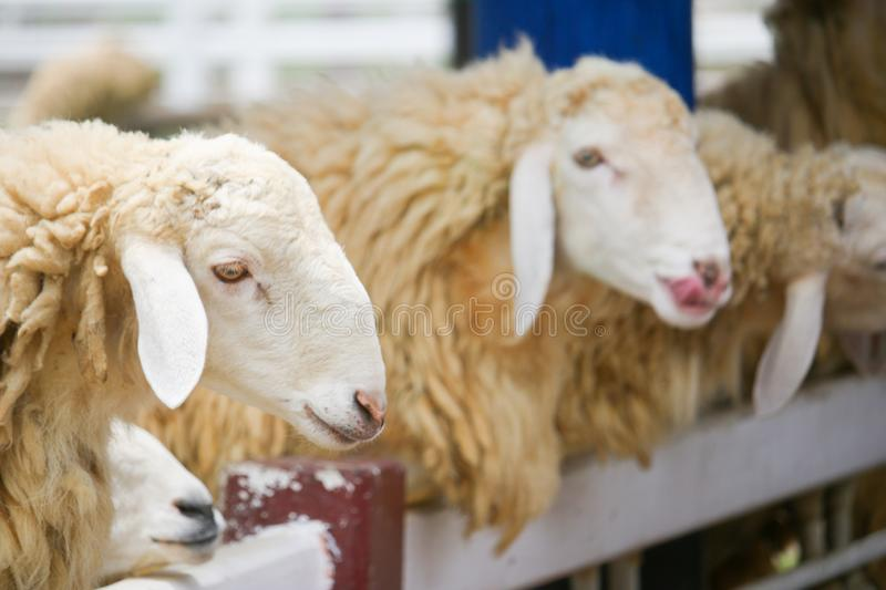 Brown flock of sheep standing in front of each other in a white corral stock images