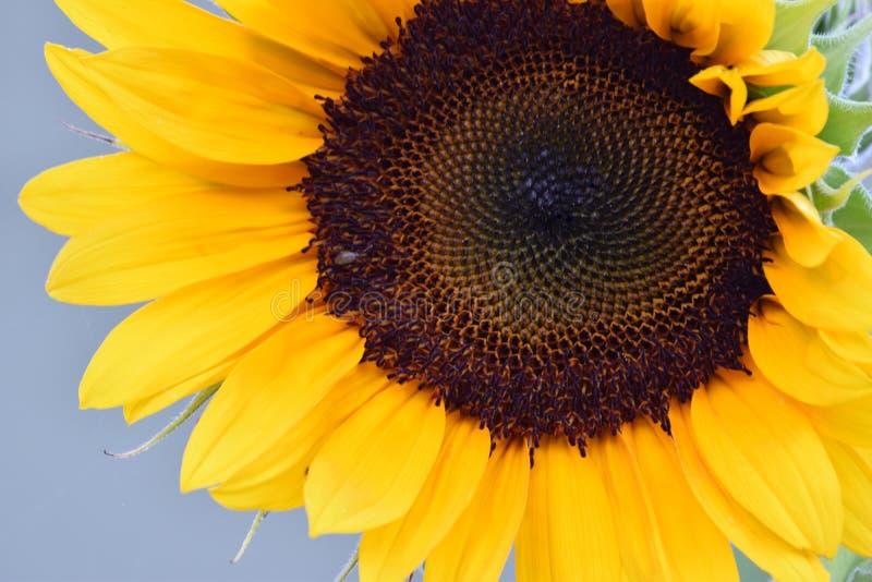 Brown Florets słonecznik Spiralgraph obraz stock