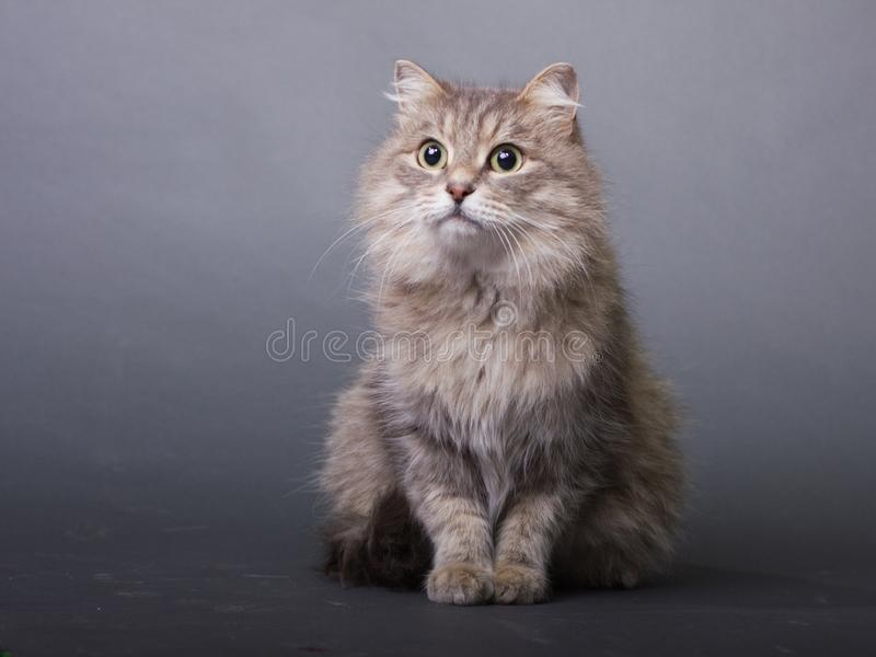 Brown fluffy cat looks stock image