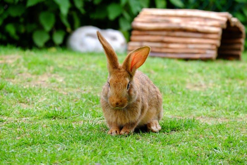 Brown fluffy rabbit eating the grass. Beautiful brown fluffy rabbit on the field with green grass, hare, bunny, animal, pet, beige, mammal, closeup, close-up stock photos
