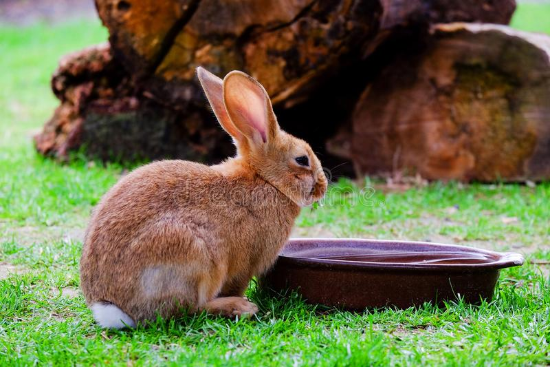 Brown fluffy rabbit eating the grass. Brown domestic fluffy rabbit eating grass in the garden, hare, bunny, animal, pet, beige, mammal, closeup, close-up, white royalty free stock photos