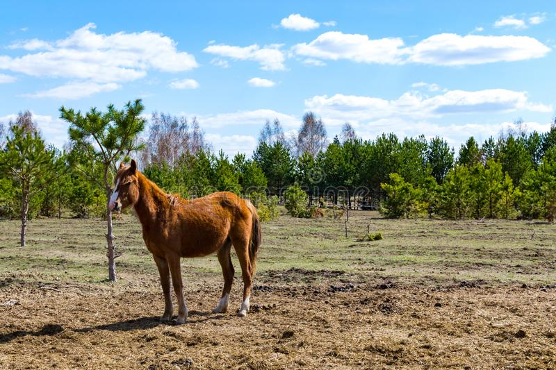 Brown foal grazing in a clearing. Beautiful pastoral landscape. Russia stock photos
