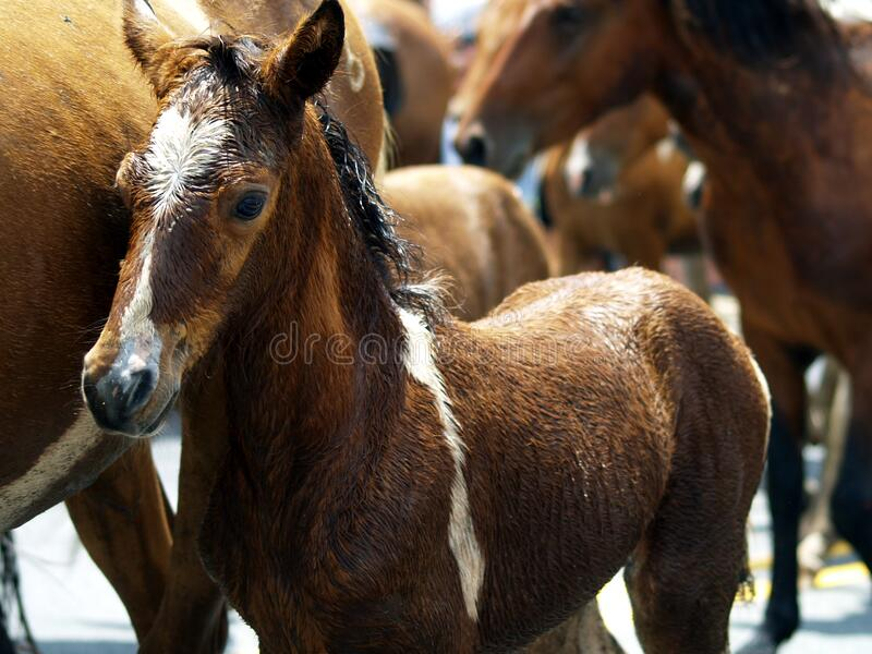 Brown Foal In Herd Of Horses Free Public Domain Cc0 Image