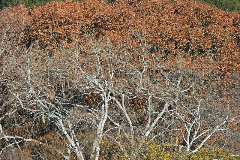 BROWN FOLIAGE WITH WHITE BARREN TREES IN THE FOREGROUND stock images