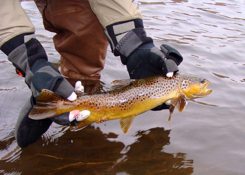 Brown-Forelle-Freigabe an einem kalten Tag lizenzfreies stockfoto