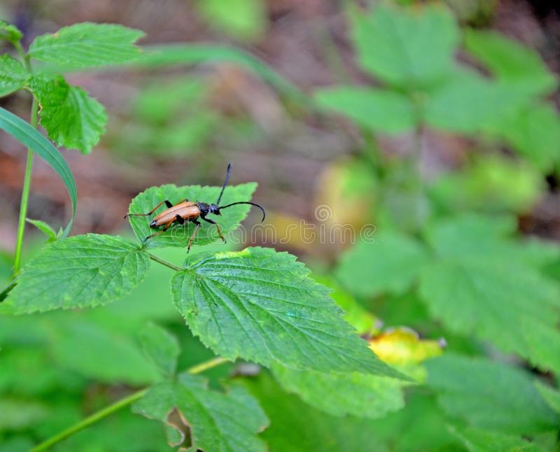 Brown forest bug sitting on green leaf in the forest royalty free stock photo