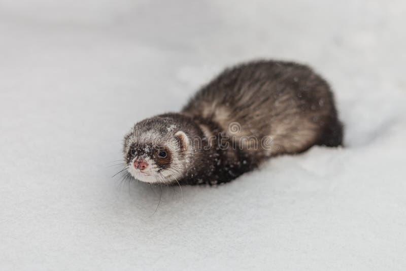 A brown foumart sneaks through the snow in the winter. stock photos