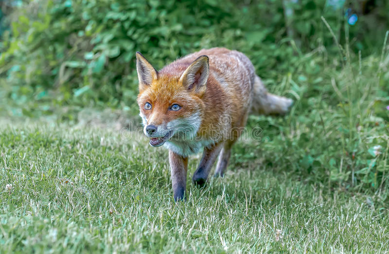 Brown fox royalty free stock images