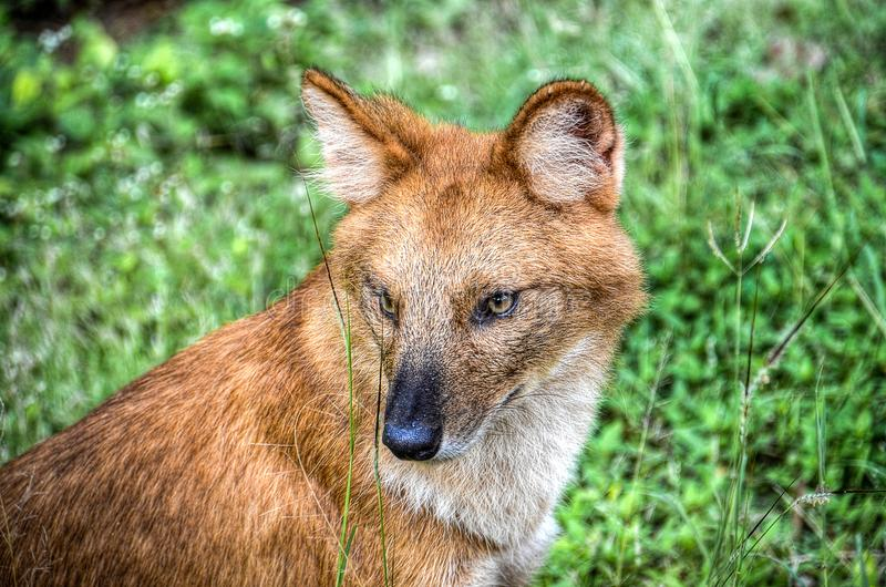 Brown Fox in the Grass stock image