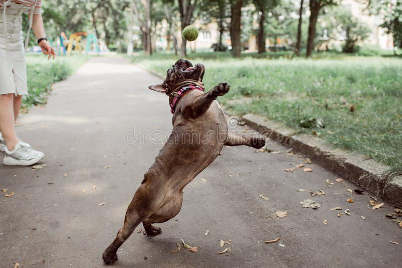 Brown french bulldog with a collar.  Bulldog portrait. Brown french bulldog with a collar is playing a tennis ball and jumping for it.  Bulldog portrait stock photography