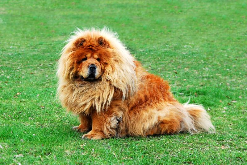 Brown friendly chow-chow dog in the city. Brown friendly chow-chow dog in the Vilnius city royalty free stock photography