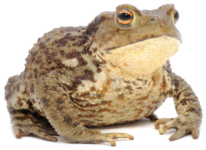Brown Frog. A brown frog on a white background stock photography